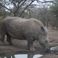 Embryo breakthrough 'could save northern white rhino'