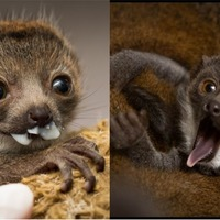 Meet Princess Buttercup, the adorable baby mongoose lemur stealing hearts