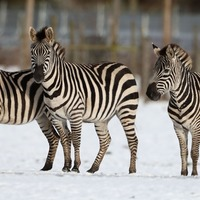 There is a new theory on why zebras have black and white stripes