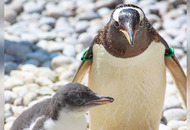 Nine penguin chicks born at Belfast Zoo