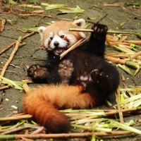 One-month-old red panda triplets have just opened their eyes at Greenville Zoo