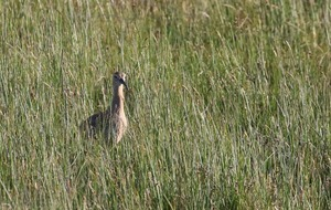 Four curlew chicks fledge in Antrim Hills