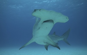 New shark species could be swimming towards UK as seas warm