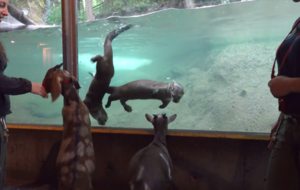 Otters and goats have formed an unlikely friendship at this US zoo
