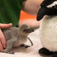Adorable premature penguin chick saved by keepers at London Zoo