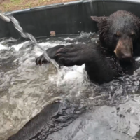 Cool off with this video of Billy the bear having a bath