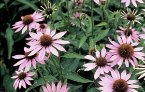 The Casual Gardener: Rudbeckia, echinacea and summer flowering grasses