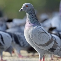 Pigeon biting video sparks police probe