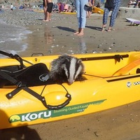 The unlikely story of the badger who fell off a cliff and was rescued on a kayak