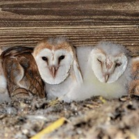 Bumper brood of barn owls celebrated in Co Antrim