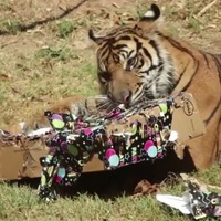 Watch this foster tiger celebrate her first birthday with her adopted family