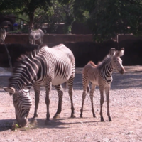 Watch: Rare baby zebra scampering around mother is a boon for his species