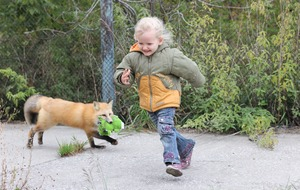 Gene discovered that helps foxes become tame
