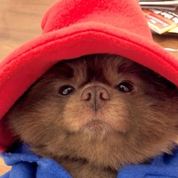 Here is a dog dressed as Paddington Bear and it's wonderful