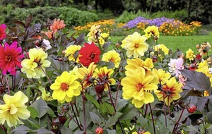 Gardening: The dos and don'ts of dahlias – our tips for growing real showstoppers
