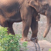 Wild-caught elephants have shorter lives, say researchers
