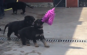 Adorable video shows Met Police puppies in training with 'ragging' exercise