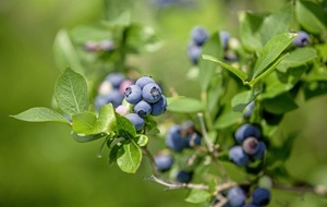The Casual Gardener: It makes sense to grow your own blueberries