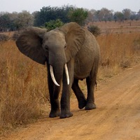 Killer 'zombie gene' protects elephants from cancer