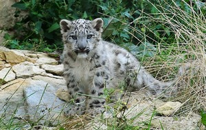 Two adorable snow leopard cubs have been born at San Francisco Zoo