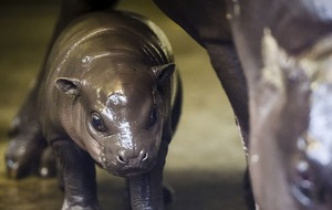 Watch adorable footage of a newborn pygmy hippo