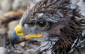 Golden eagle chicks released in 'groundbreaking' relocation project