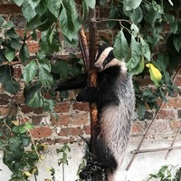 Badger rescued from sticky situation in plum tree
