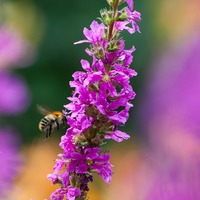 Bumblebees show signs of pesticide 'addiction'