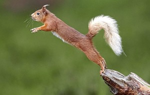 Take on Nature: Native Red squirrels endangered by invading Greys