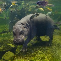 Watch video of an adorable baby pygmy hippo breastfeeding from mum