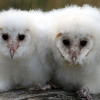 Bake Off a real hoot for TV-loving barn owls Peek and Boo