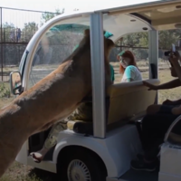 Watch the moment a lion climbed into car at a safari park in Crimea