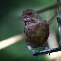Garden birds have a pecking order … and it favours the pushy bigger species