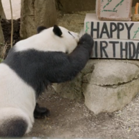 Watch: Giant panda plays with a cardboard box cake for her 27th birthday