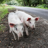 Meet the pigs roaming free so they can feast on freshly fallen acorns