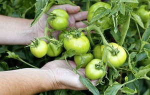 Gardening: Five measures you can take to help green tomatoes ripen in autumn