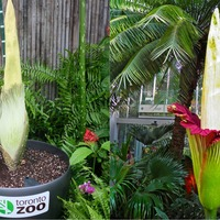 Flower that smells like a corpse set to bloom for the first time