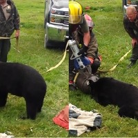 Bear with head stuck in milk jug freed by firefighters