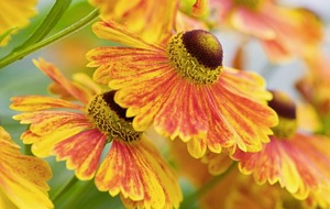 The Casual Gardener: Heleniums help keep a sense of summer well into September