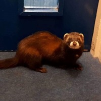 Watch: Rescued polecat scampers back to freedom after adventurous day