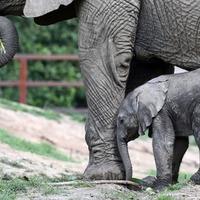 Watch this newborn baby elephant begin to explore the world