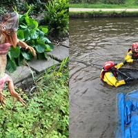 Stranded iguana rescued from cherry tree over Lancaster canal