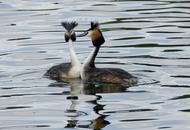 Take On Nature: How the great crested grebe helped to bring about the RSPB