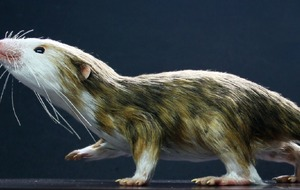 Shrinking played key role in evolution of mammals, researchers conclude