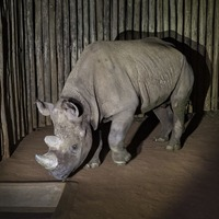 San Diego Zoo has donated a black rhino called Eric to Tanzania