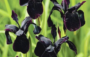 Gardening: The best black plants to add drama to your garden