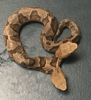 Two-headed snake found in US shares one heart