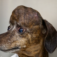Dog receives 3D-printed titanium skull plate following cancer surgery