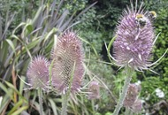 The Casual Gardener: Teasel – the weed that's welcome