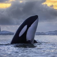 Killer whales under threat from toxic ocean chemicals